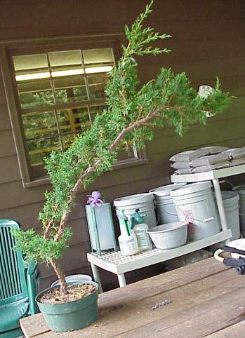 Chọn chủng loại cây phù hợp để lũa bonsai
