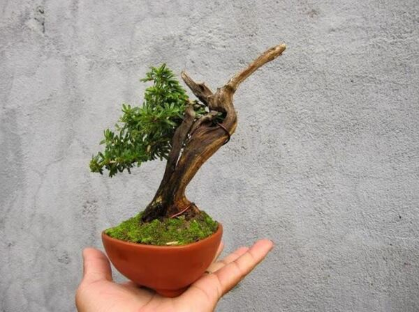 Chậu lũa bonsai mini