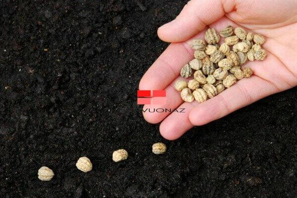 Gieo hạt giống cây trồng