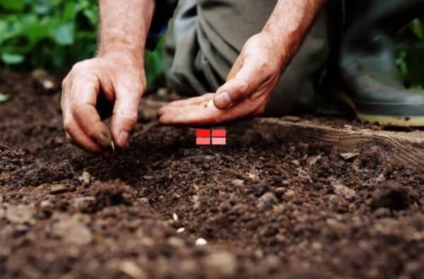 Gieo hạt khi hạt giống đã nứt nanh