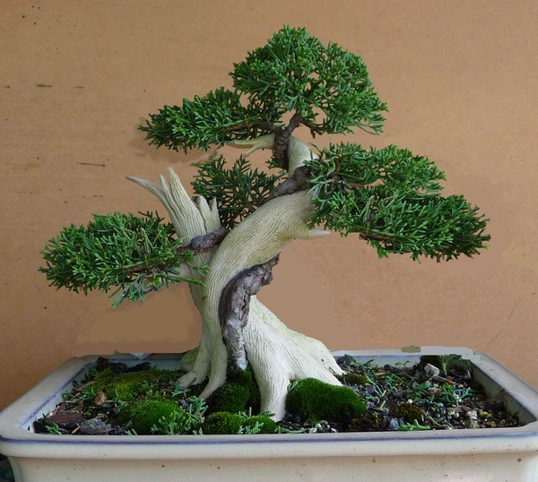 lũa bonsai