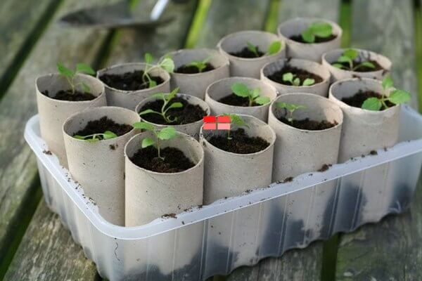 Ươm hạt giống trong lõi giấy vệ sinh