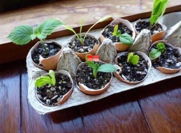 Ươm hạt giống trong vỏ trứng