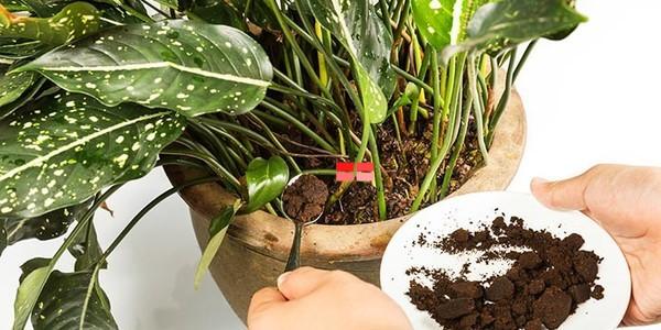 Để sử dụng bã cà phê bón cây trực tiếp, bạn hãy rắc bã cà phê đã phơi khô vào quanh gốc cây. Tuy nhiên, bạn chỉ nên rắc một lớp bã cà phê thật mỏng