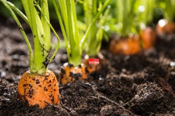 Bột cà phê có thể được sử dụng cho các loại cây ăn củ cà rốt, củ cải, khoai tây,...