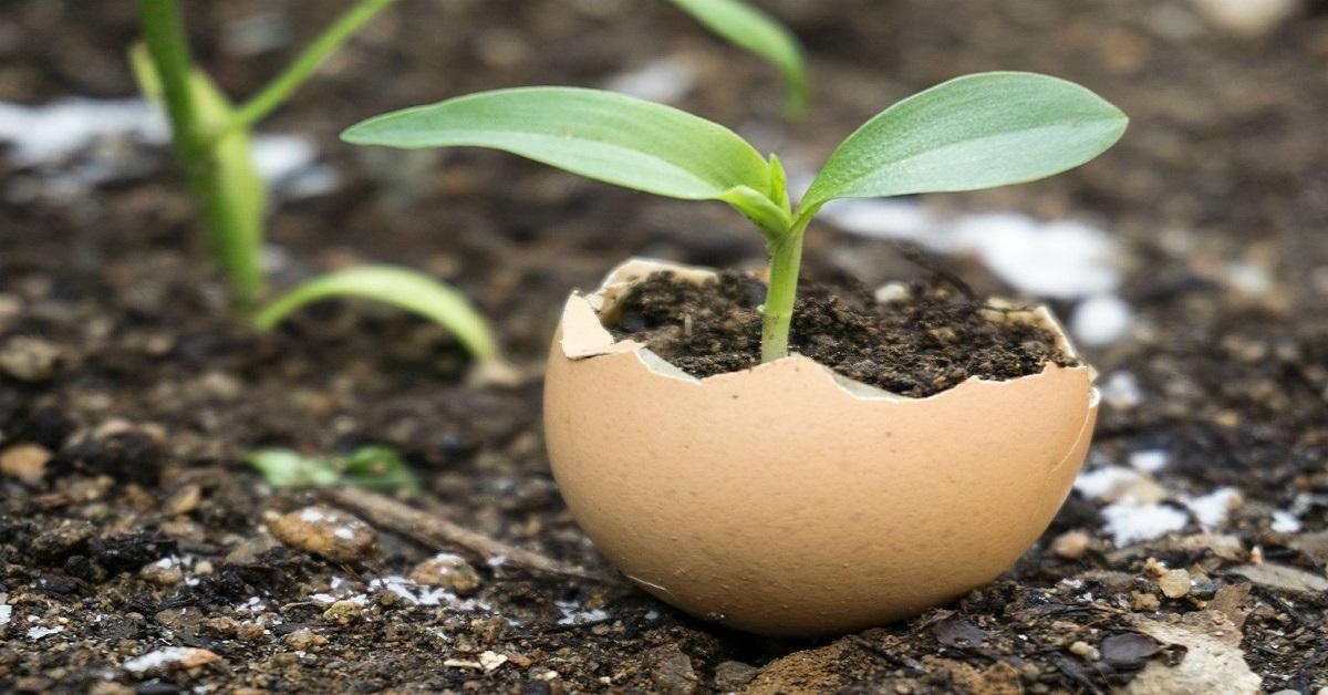vỏ trứng gà làm phân bón cho cây