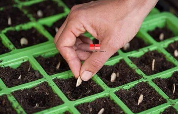 Gieo hạt giống vào từng ô của khay