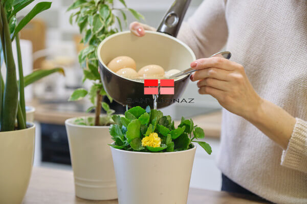 Sử dụng nước luộc trứng để nguội tưới cây