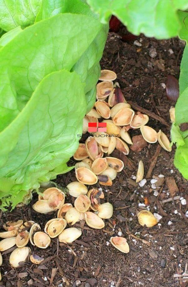 Sử dụng vỏ các loại hạt để làm lớp phủ trong vườn
