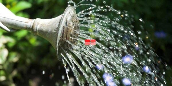 Tưới phân đạm hoà nước