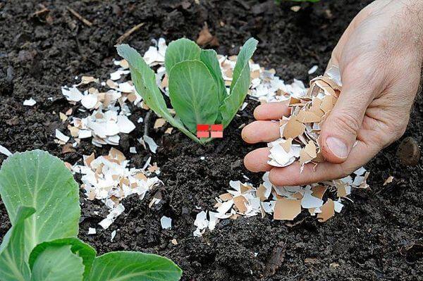 Vỏ trứng giúp bổ sung canxi giúp rễ cây phát triển khoẻ mạnh hơn