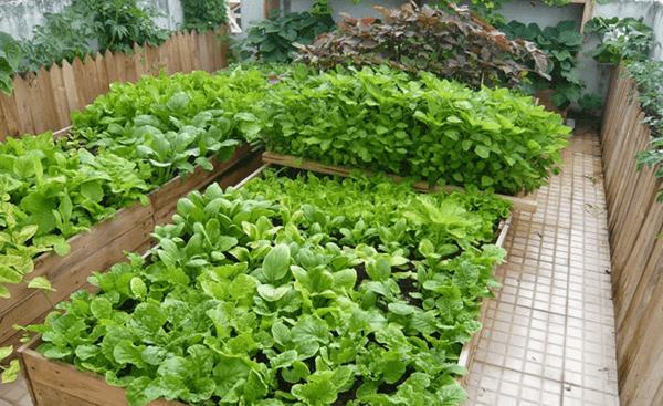 rau dễ trồng ăn quanh năm