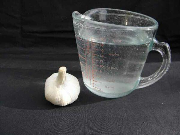1 củ tỏi : 1 cốc nước - công thức pha chế diệt ốc sên bằng tỏi của tôi