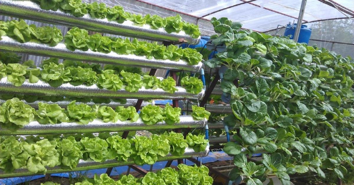 10 loại rau thích hợp trồng thủy canh