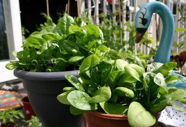 Bạn có thích rau chân vịt không? Đừng quên rằng bạn có thể trồng chúng ngay trong nhà