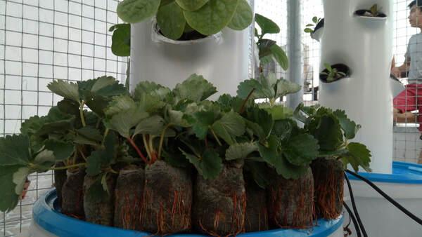 Cách trồng dâu tây thủy canh bằng giống cây