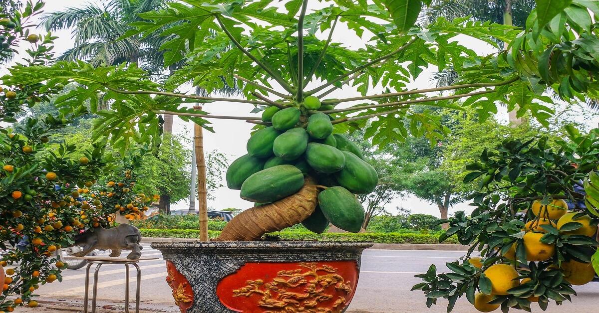 Cách trồng đu đủ trong chậu dáng đẹp