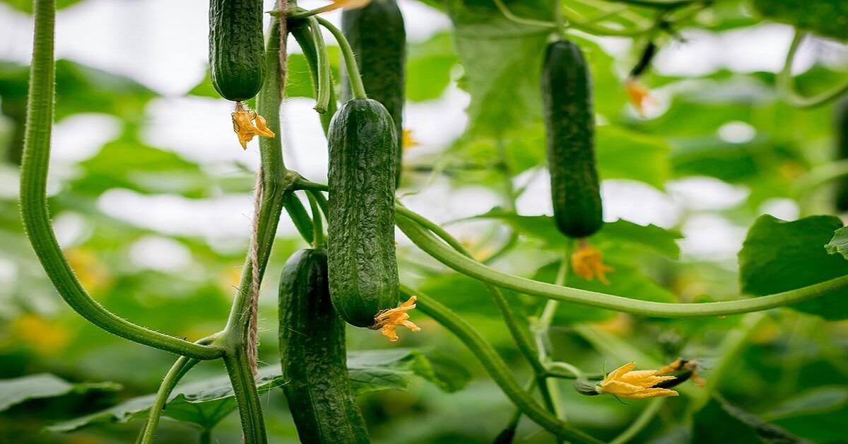 Cách trồng dưa chuột cho trái không bị đắng