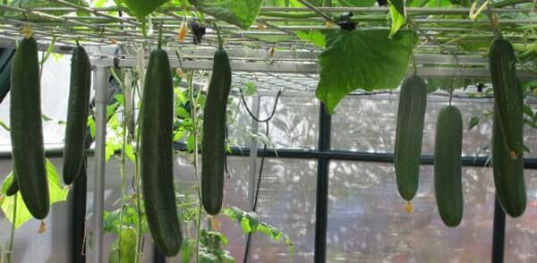 Cách trồng dưa chuột thủy canh