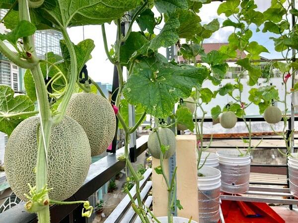 Cách trồng dưa lưới tại nhà trên sân thượng