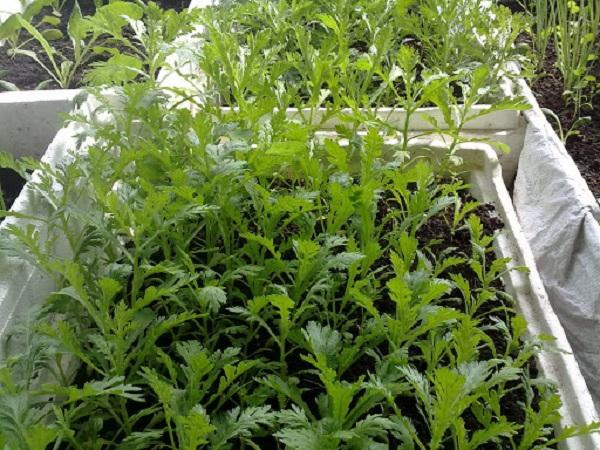 Cách trồng rau cải cúc tại nhà