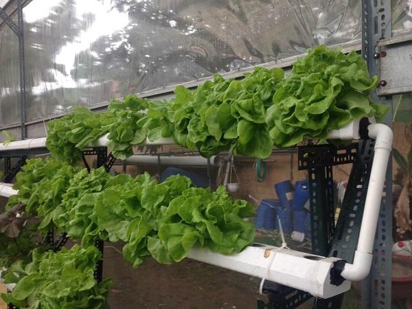 Cách trồng rau xà lách thủy canh tại nhà