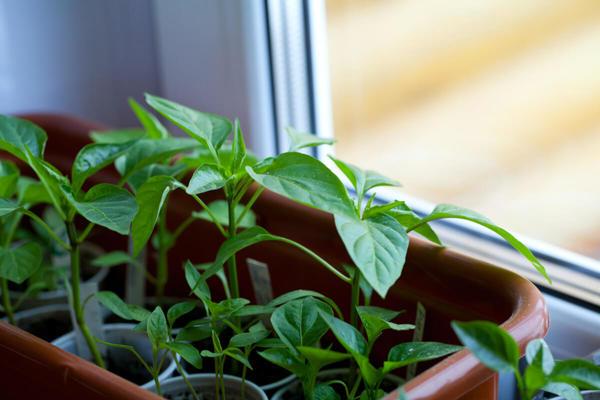 Cần chuẩn bị gì khi trồng rau trong nhà?