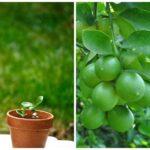 cách trồng chanh