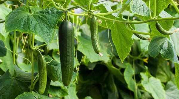 """Chọn giống dưa phù hợp với từng thời điểm trong năm giúp bạn có """"vụ mùa"""" bội thu"""