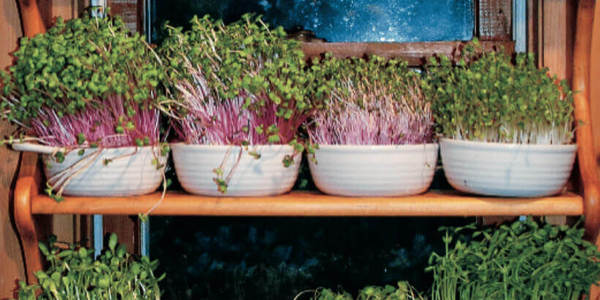 Đừng quên trồng rau mầm trong nhà bạn nhé!