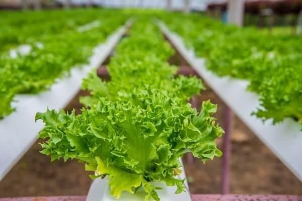 Giá thể trồng rau xà lách