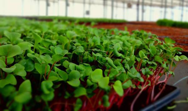 Hướng dẫn cách trồng rau mầm