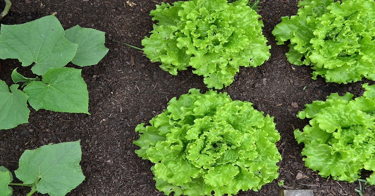 Hướng dẫn cách trồng xà lách tại nhà