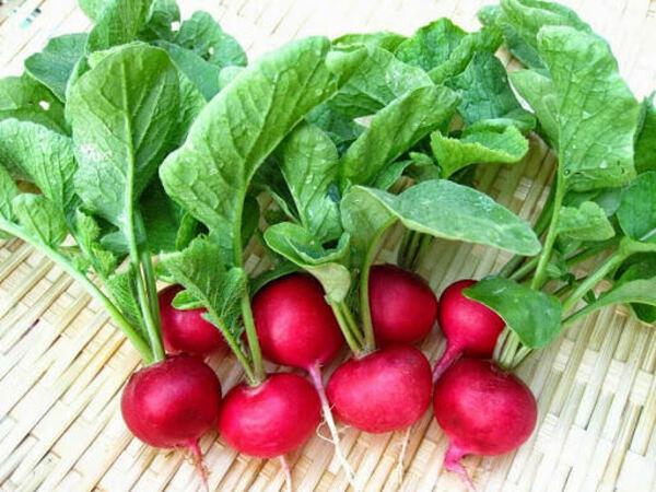 Hướng dẫn trồng củ cải đỏ tại nhà