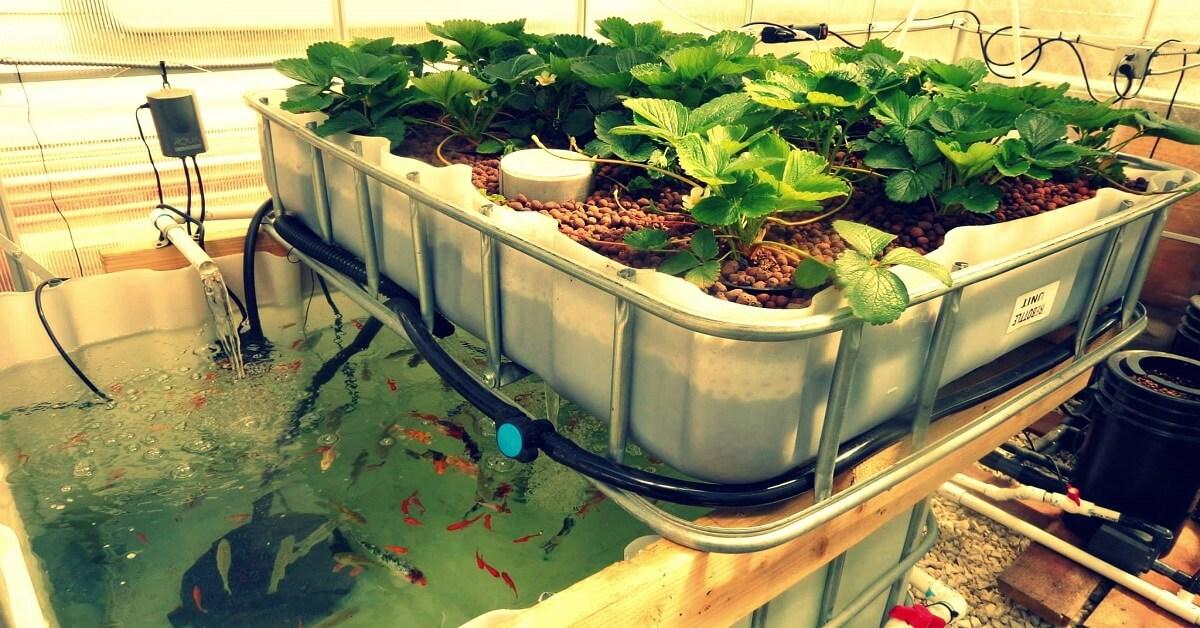 Nếu được pha đúng tỷ lệ, dung dịch thủy canh sẽ giúp cây trồng phát triển