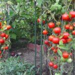 Trồng cà chua thủy canh mang lại cho bạn không gian tươi mát