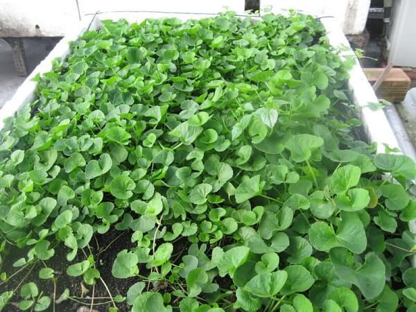 Cách trồng rau má trong chậu