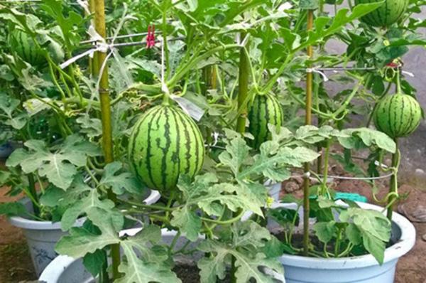 cách trồng dưa hấu trong thùng xốp
