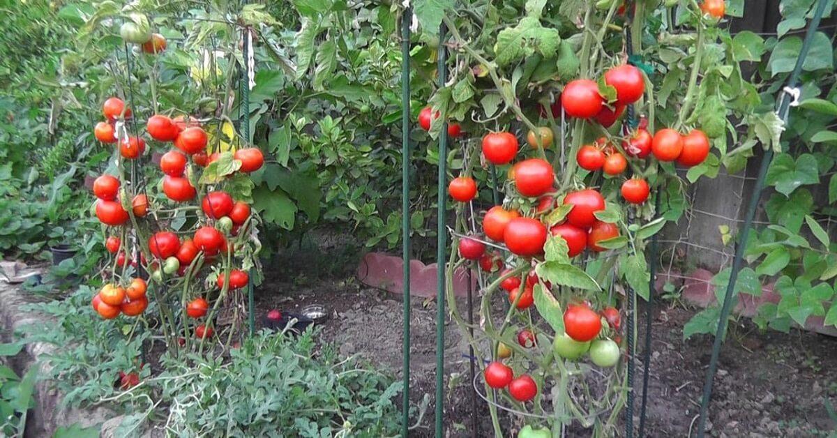 Hướng dẫn trồng cà chua bằng hạt