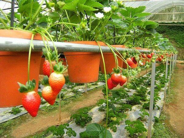 Hướng dẫn trồng dâu tây tại nhà