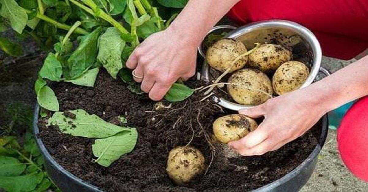 Hướng dẫn trồng khoai tây tại nhà