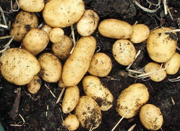 Kỹ thuật chăm sóc khoai tây