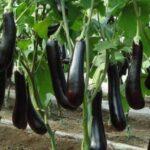Kỹ thuật trồng cà tím