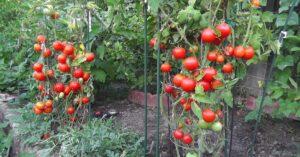 Cách trồng cà chua tại nhà