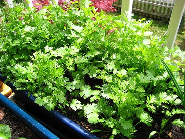 Cách trồng rau thơm tại nhà