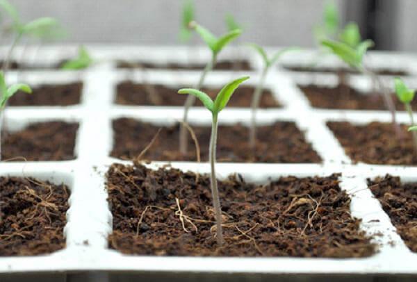 Gieo hạt cà chua