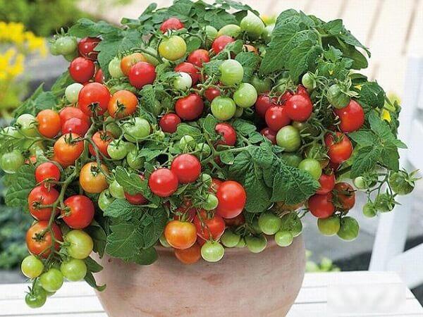 Hướng dẫn trồng cà chua bi trong chậu