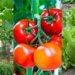 lịch trồng rau miền bắc