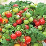 Trồng cà chua cần chuẩn bị những gì?