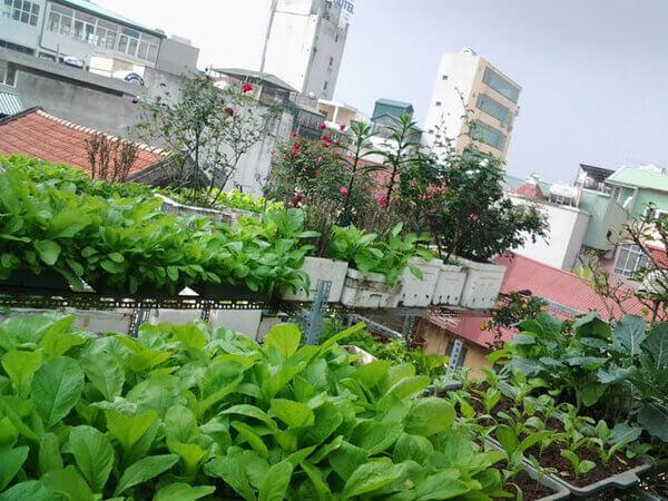 Vườn rau trên nóc nhà của chàng trai Kỹ sư